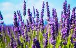 Все о лаванде: свойства, польза и вред, применение цветов и семян