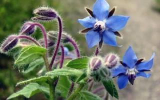 Что такое огуречная трава (бораго): польза и вред, описание, выращивание