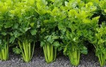 Как правильно выращивать сельдерей, когда сеять и как ухаживать — правильные советы