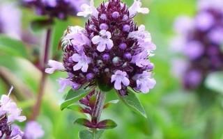 Чем полезен чабрец (тимьян) и как применяют траву: описание, свойства и рецепты, сбор