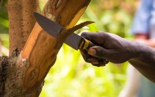 Как растет корица в природных условиях — виды  и способ получения пряности