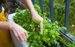 Как вырастить базилик на подоконнике: подготовка и посев, советы бывалых садоводов