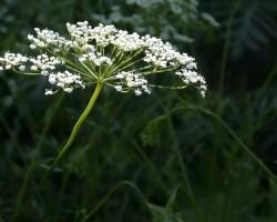 Выращивание аниса в домашних условиях — советы когда и как садить семена правильно, уход
