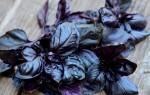 Особенности использования фиолетового базилика — полезные свойства для мужчин и женщин