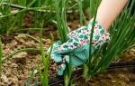 Выращивание и уход за луком, или как вырастить хороший урожай