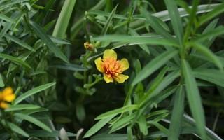 Выращивание тархуна (эстрагона) в открытом грунте: советы по посадке и уходу