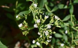 Как вырастить стевию из семян дома: секреты посадки и ухода, советы по подготовке
