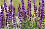 Выращивание шалфея: посадка в открытый грунт и и секреты ухода, сорта