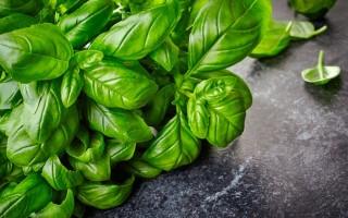 Особенности использования зеленого базилика — интересные факты о пряном растении