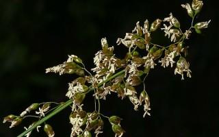 Описание травы зубровки и целительные свойства, применение и рецепты