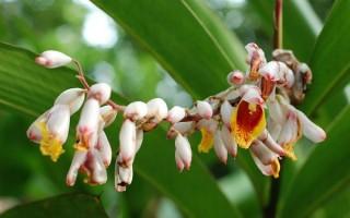 Можно ли вырастить дома кардамон и как это сделать правильно — советы садоводов