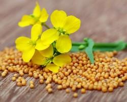 Что такое горчица и как она выглядит: польза и вред здоровью, применение