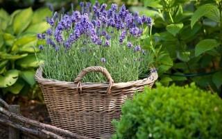 Выращивание лаванды: посадка и правила ухода, почему гибнут семена