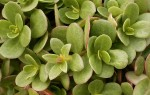 Огородный портулак: полезные свойства, советы и инструкция по применению