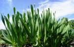 Все о луке слизуне: полезные свойства и тонкости выращивания, советы