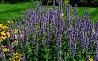 Правила посадки иссопа в открытый грунт и секреты ухода за растением