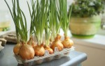 Выращивание лука на зелень — 7 способов, советы для подоконника и дачи