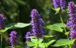Лекарственный иссоп: уникальные свойства и сила растения, виды и применение