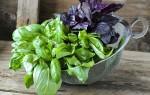 Что такое базилик: состав, полезные свойства и вред для здоровья, применение