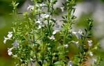 Что такое садовый чабер и как он выглядит: польза и вред, описание, сорта