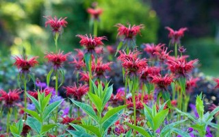 Посадка монарды в открытый грунт, секреты ухода, лучшие сорта растения