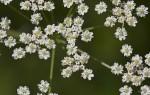Что такое тмин обыкновенный: польза и вред для организма, свойства и применение