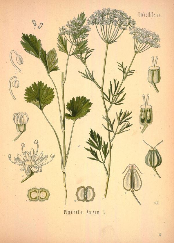 Анис в ботанике