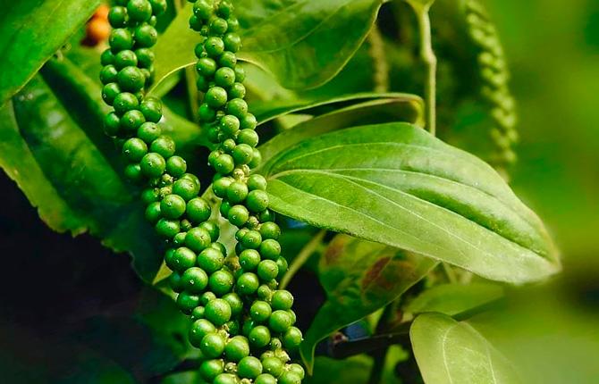 Черный перец выращивание