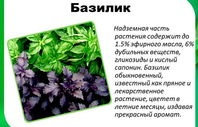 Базилик описание