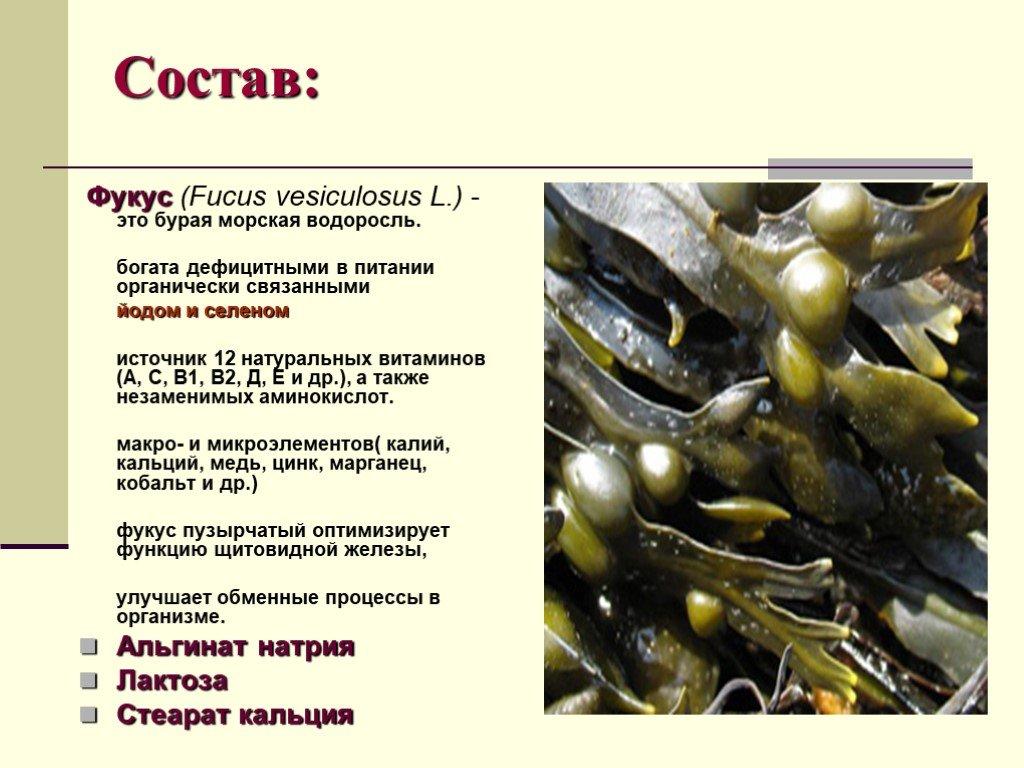 водоросль фукус